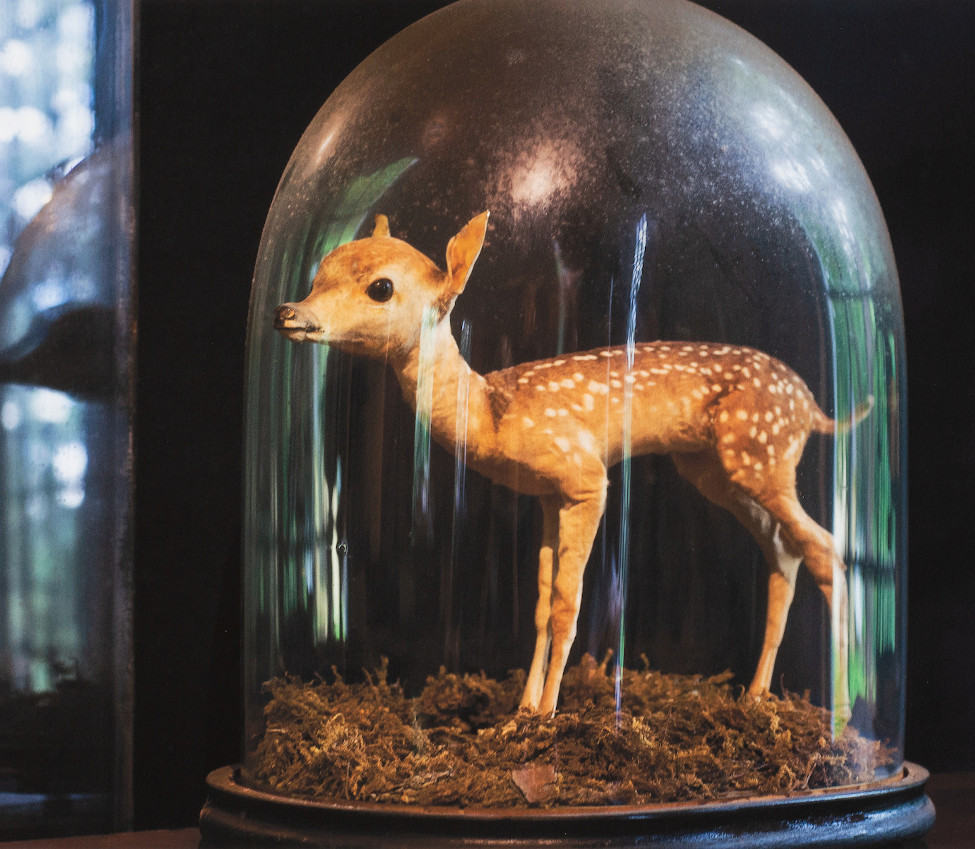 Deer under vitrine