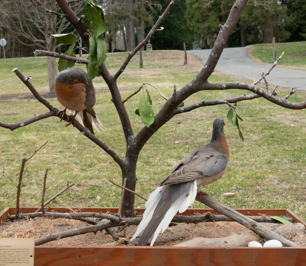 Passenger pigeons from the Joseph Allen Skinner Museum