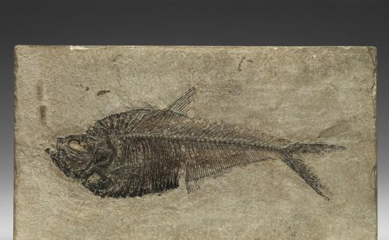 Fossilized Fish (Diplomystus humilis)